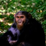 Chimpanzee Habitat / Where Do Chimps Live ?