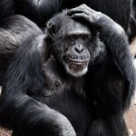 How Much Of Chimpanzee And Human DNA Is The Same ?